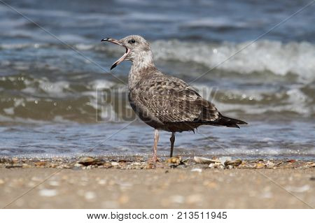 Juvenile Greater Black-backed Gull (Larus marinus) calling by the Atlantic Ocean