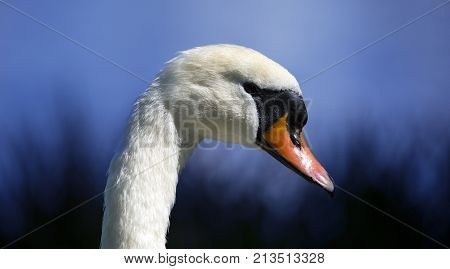 close up of a swans head neck and beak on blue background of dusk