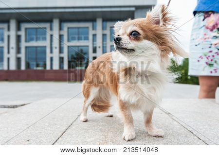 walking with chihuahua puppy on the city background