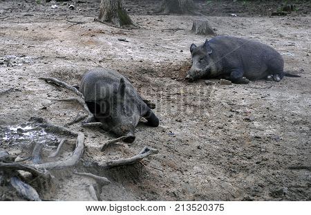 Wild boars lying in a forest in Slovakia