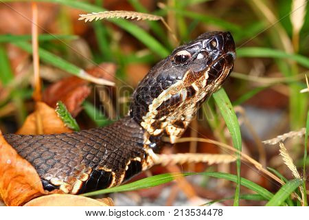 Cottonmouths (Agkistrodon piscivorus) are a common venomous snake species inhabitating wetlands in the southern United States