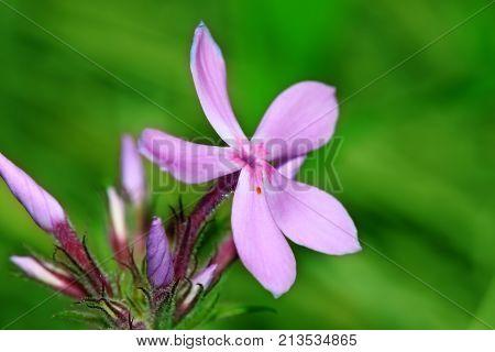 Downy Phlox (Phlox pilosa) is a perennial flower native to North America