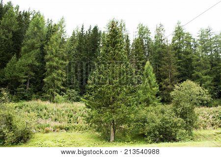 Alpine Tree Forest On The Mountain In Samnaun At Graubunden Region Of Switzerland