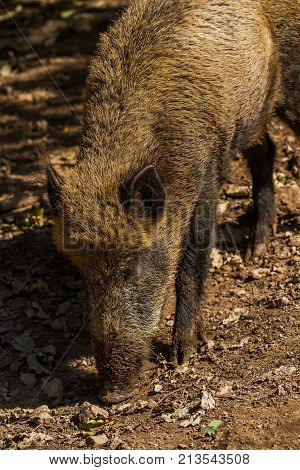 Boar in sun , Wildpark animal .