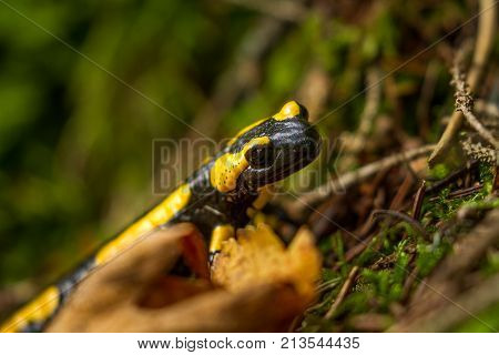 Salamandra in autumn forest hiding under leaves.