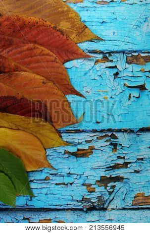 Autumnal leaves on old blue background/ Colorful autumnal leaves on old blue scraped planks.