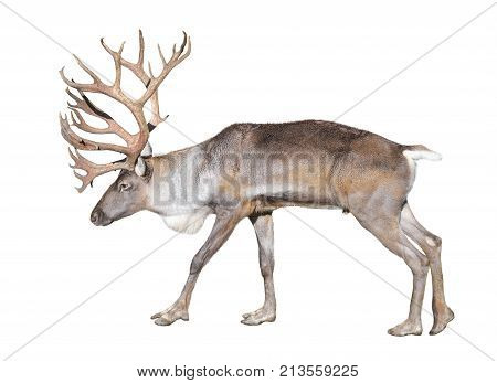 Finnish forest reindeer isolated on white background. The Finnish forest deer is a rare and threatened subspecies of reindeer native to Finland and northwestern Russia.