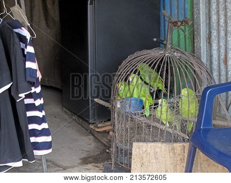 Parrots in captivity, displayed for sale, Costa Rica, Central America