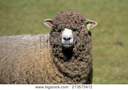 Sheep in the andean highlands of Cocuy National Park, Colombia, South America