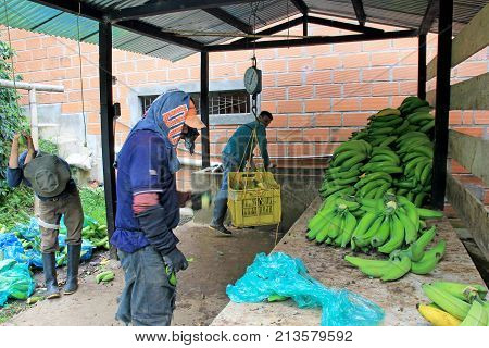 Cutting bananas on columbian farmhouse, near El Jardin, Anioquia, Colombia, South America