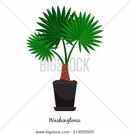 Washingtonia plant in pot isolated on the white background, vector illustration