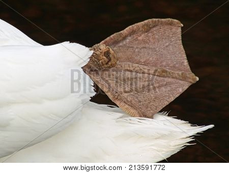 Closeup of webbed foot of an adult Mute Swan