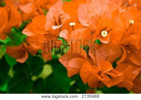 Beautiful Bougainvillea Glabra Chois Orange Flower