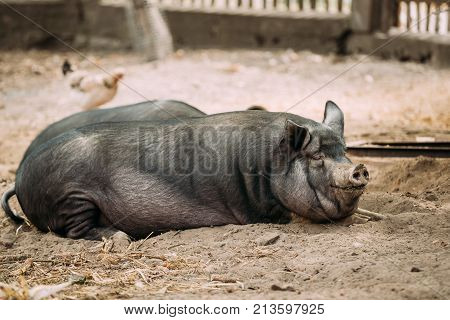 Large Black Pig Resting In Sand In Farm. Pig Farming Is Raising And Breeding Of Domestic Pigs. It Is A Branch Of Animal Husbandry. Pigs Are Raised Principally As Food pork, Bacon, Gammon .