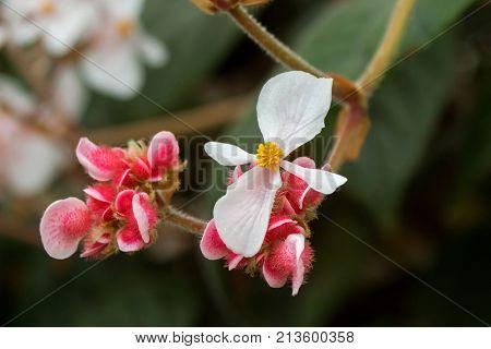 Closeup of Begonia White flower with yellow stamen and hairy pink flower in Tasmania island, Australia