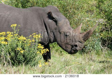 White Rhino Open Mouth