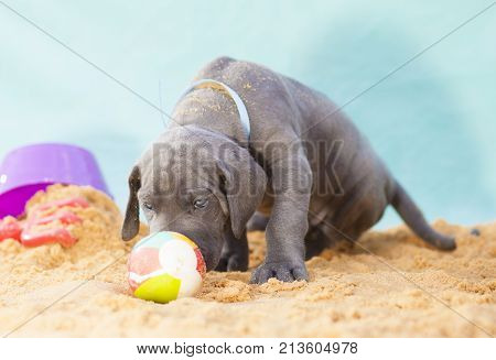 Purebred Grey Great Dane puppy sniffing a ball on the sand