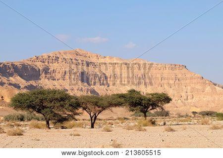 Green acacia trees in dry wadi in Negev desert Israel.