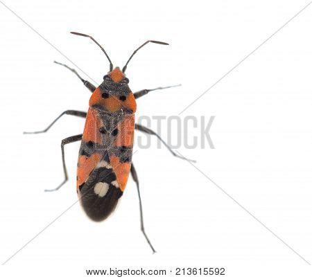 Firebug, Pyrrhocoris apterus on white background . Photos in the studio