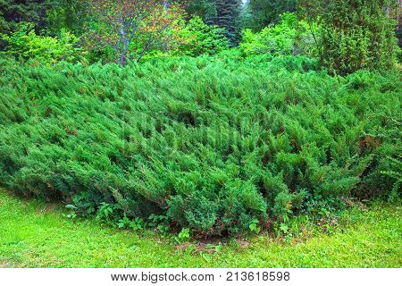 Cossack juniper ( lat. Juniperus sabina). Juniper bushes at the forest's edge