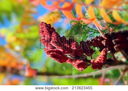 Fluffy carmine red staghorn sumac seeds close up with selected focus. Green and orange leaves bokeh background.