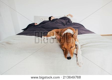 Young woman sleeps in bed in clean and white simple bedroom with her best friend basenji breed puppy dog sleeping next to her on top of covers. cute and adorable friendship
