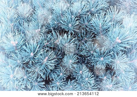 Winter landscape background. Winter pine tree branches under falling winter snowflakes, closeup winter nature. Winter forest background, winter pine tree and snowfall. Winter scene background