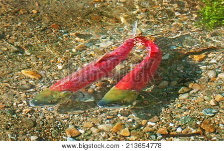 Colorful Spawning Sockeye Salmon swimming in river, British Columbia, Canada