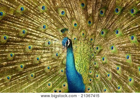 Portrait of Peacock with Feathers Out.