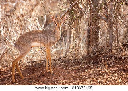 Antelope is standing in the savannah of Kenya dik-dik