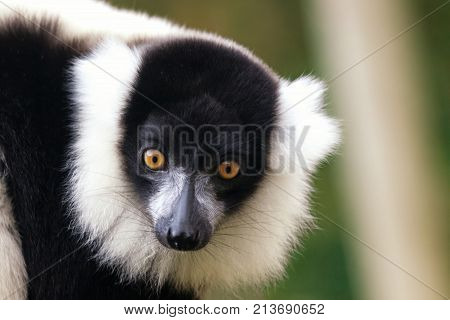 Cute close up of the face of a black and white ruffed lemur critically endangered. With space for text.