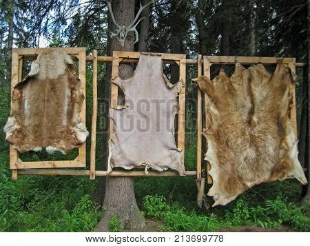 Trio of Bear Pelts Hanging in Forest