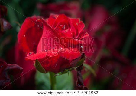Red Rose Roses Flowers Decoration At Flower Market