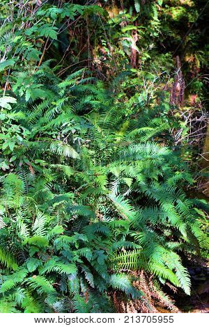 Hillside of lush green ferns taken at a temperate rain forest in the Northern California Coast