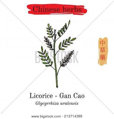 Medicinal herbs of China. Liquorice Glycyrrhiza glabra . Hieroglyph translation Chinese herbal medicine
