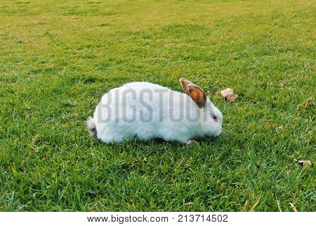 A Big White Rabbit With Dark Ears And Red Eyes Walking Eating Sniffing Green Grass In The Park On Su