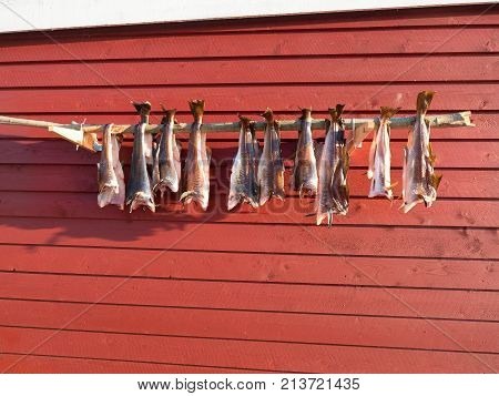 Drying Of Cod Fishes. Unsalted Codfish Dried  By Cold Wind On Wooden Racks. Red Traditional  House