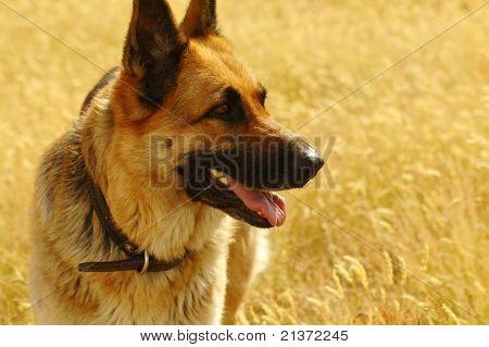 Portrait Of German Shepherd In The Meadow