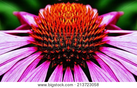 Close up of a beautiful pink coneflower blossom