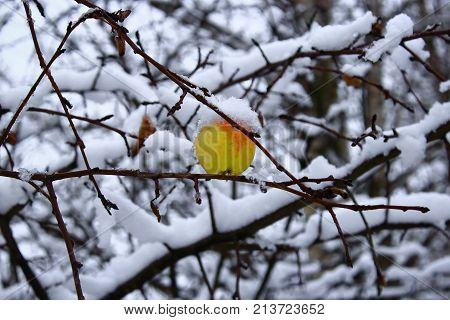 The last green Apple on a branch.The Apple on the tree in the snow. Lone Apple hanging on a branch in autumn. Yellow Apple in the snow. Apple in the cold. Green and yellow Apple in the winter. Frozen apples in the snow