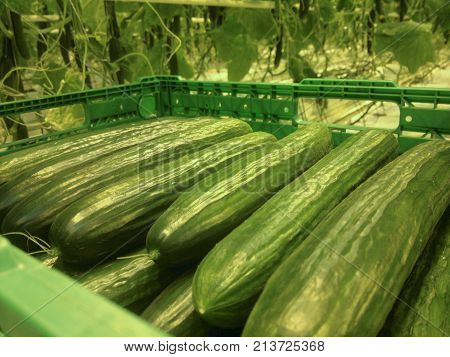cucumbers in green plastic boxes, harvesting cucumbers in greenhouses