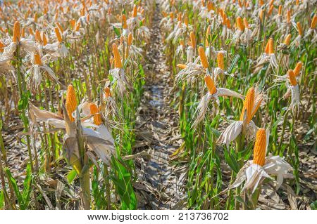 Sweet Corn Dry In Agriculture Farm Field  Harvest Grain Corn Maize Industry