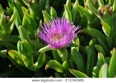Ice Plant Growing On The Atlantic Ocean Coast Of Namibia In South Africa