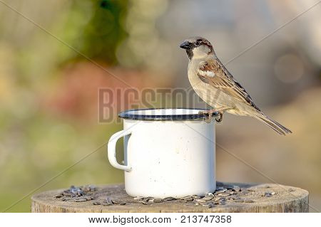 Sparrow male sits on the edge of a tin cup