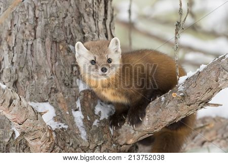 Pine marten (Martes americana) on a snow covered tree branch in Algonquin Park