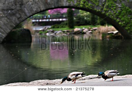 Pair of ducks eating in Central Park, NYC poster