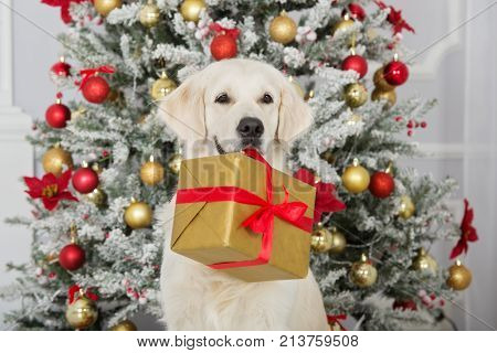 golden retriever dog holding a gift box for Christmas