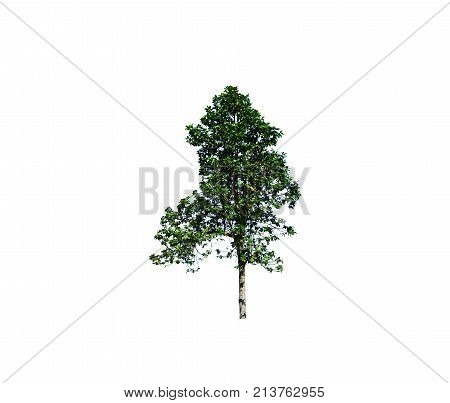 A Tree With Sun Light In Morning Of Beginning  Winter In Thailand On White Isolated  Background