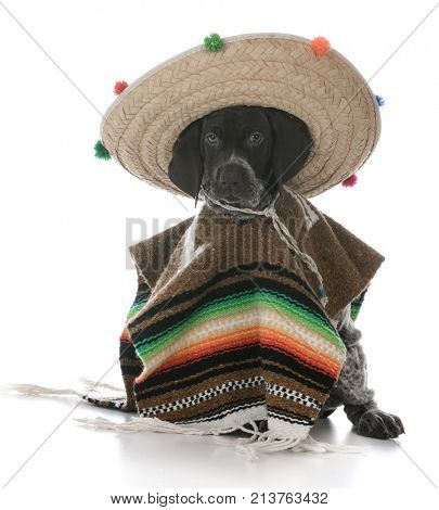 german shorthaired pointer wearing a poncho and sombrero on white background