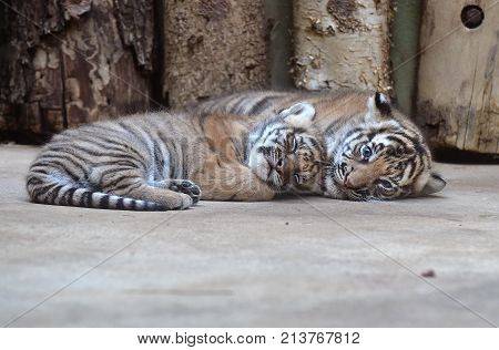 Malayan tiger cubs in a zoological garden poster